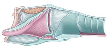 nv-fig6-larynx